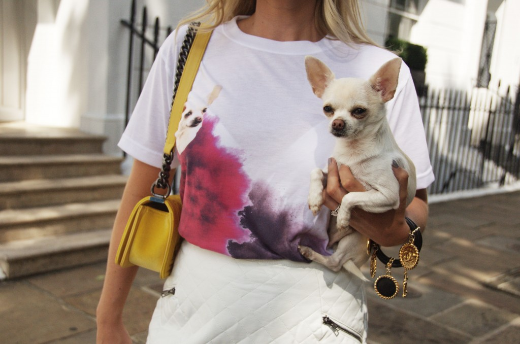 chihuahua white smooth coat model dog